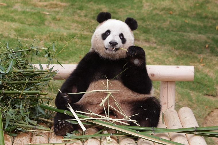 Image: Giant Chinese panda Ai Bao eats bamboo at Everland amusement park