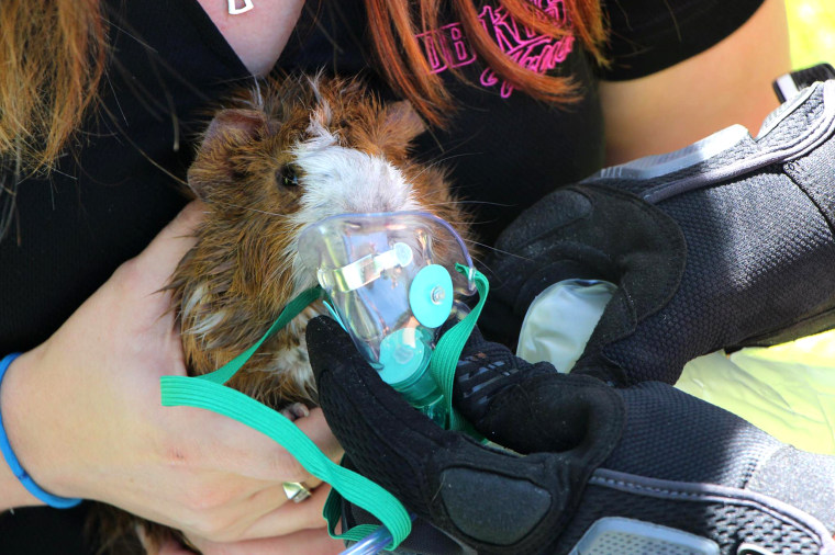 Rodney the guinea pig rescued from fire