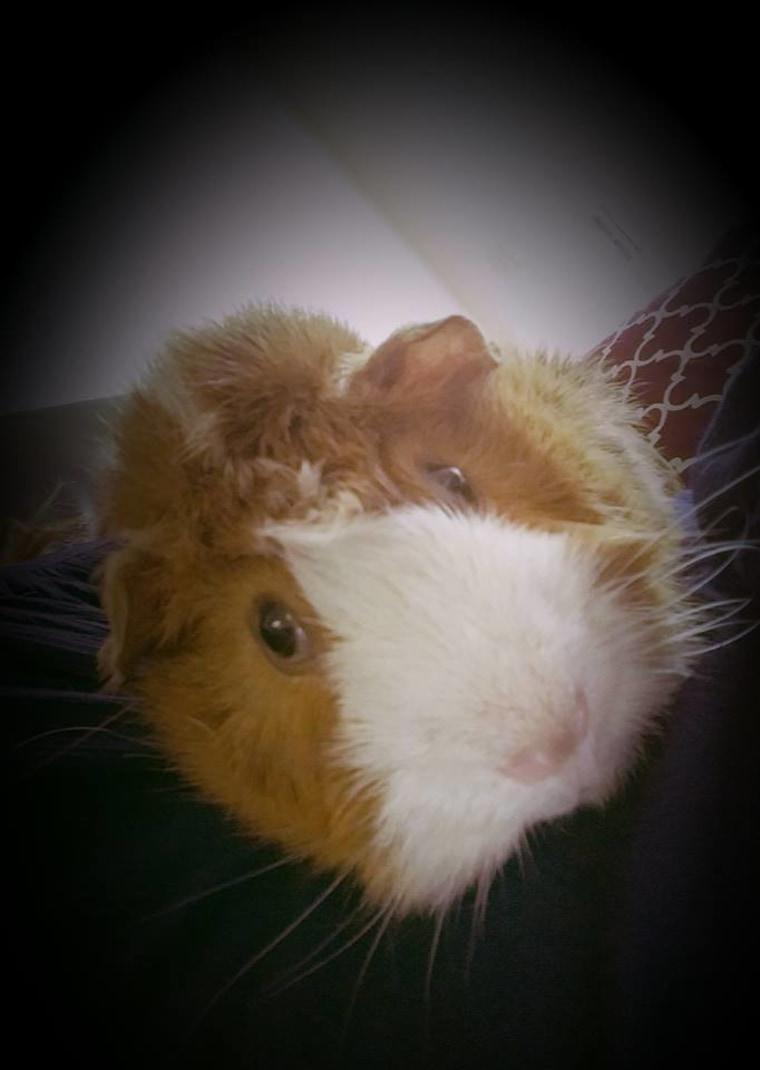 Rodney the guinea pig