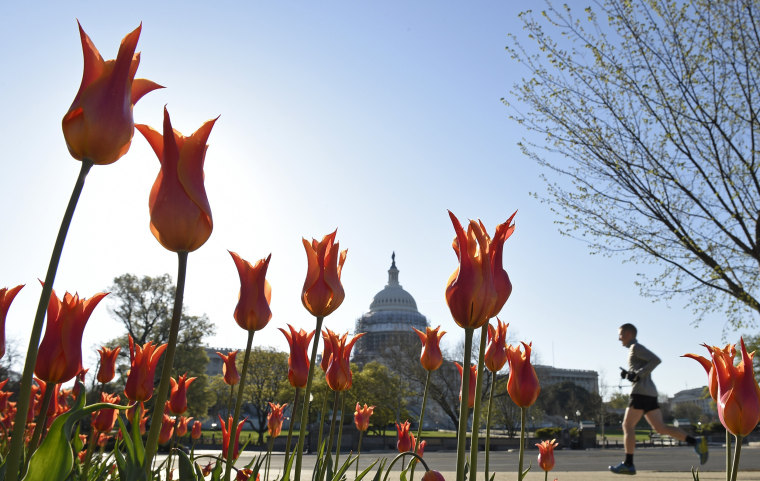 Image: A jogger passes a patch of blooming tulips on Capitol Hill