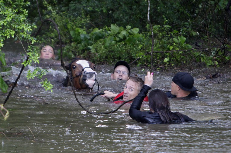 Image: Volunteers help rescue horses in Houston