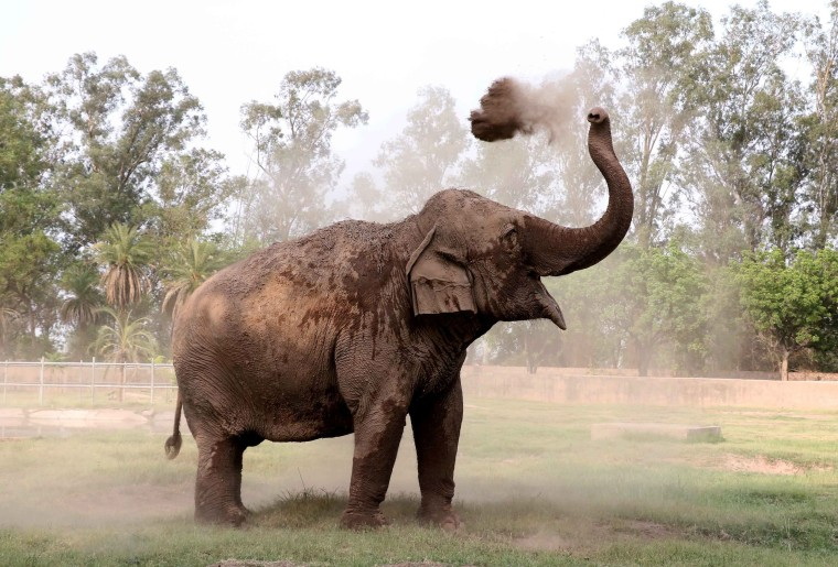Image: An Indian elephant takes a dust bath amid rising temperatures