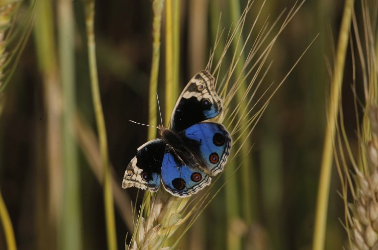 Image: A colorful butterfly sits on a branch of wheat in a field in Peshawar