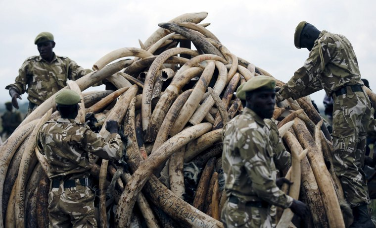 Image: Kenya Wildlife Service rangers stack elephant tusks, part of an estimated 105 tonnes of confiscated ivory to be set ablaze, on a pyre at Nairobi National Park near Nairobi