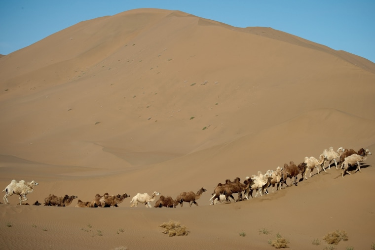 Image: Camels are seen during an off-road mapping recognition exercise