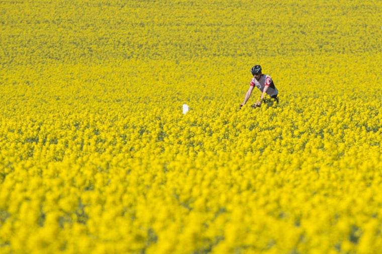 Image: A man rides his bicycle in a colza field near Dresden