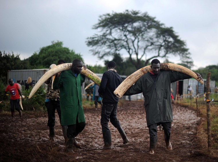 Image: Volunteers carry elephant tusks to a burning site in Nairobi's national park