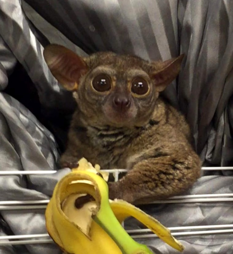 Gooey is in protective custody after detectives learned the Galago, or bush baby, was used to tip a prostitute.