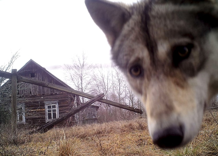 Image: A wolf looks into the camera