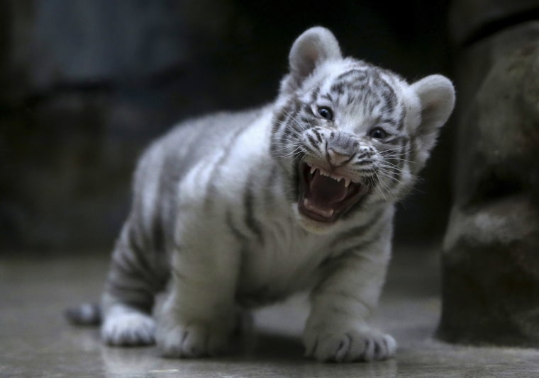 Image: white tiger cub