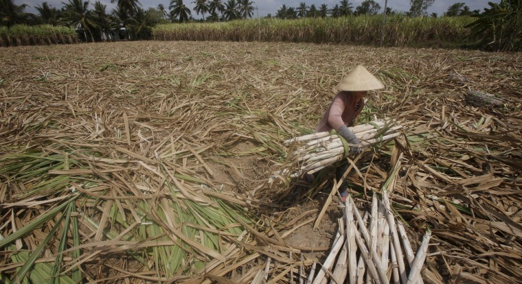 Image: A farmer harvests dried sugarcane on her drought-stricken farm in Soc Trang province in the Mekong Delta, Vietnam