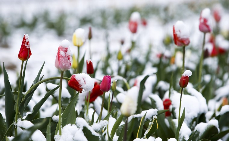 Image: Snow covered tulips are seen in a flower field in Puchheim