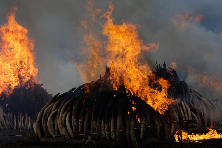 Image: Kenya burns 105 tonnes of ivory