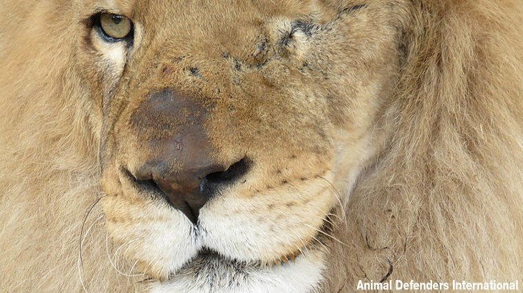 33 rescued circus lions were airlifted to Africa