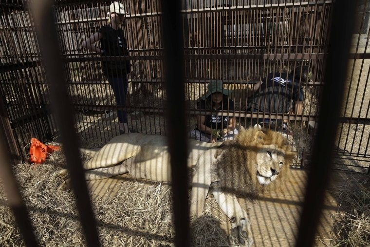 Image: A former circus lion rests in a cage on the outskirts of Lima