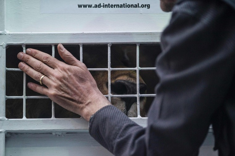 Image: African lions born in captivity in Peru are embarked for Johannesburg