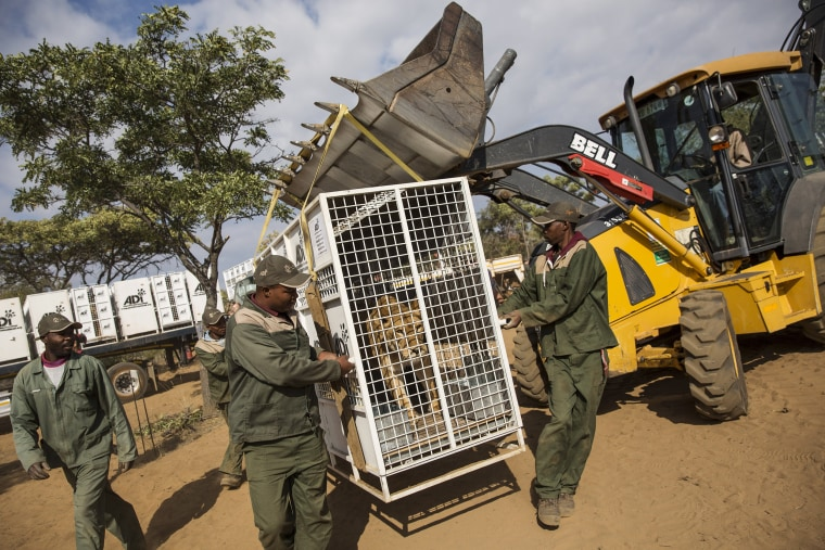 Image: Thirty Three Former Circus Lions Are Airlifted Back To South African Sanctuary