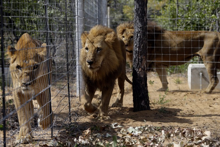 Image: Former circus lions inside an enclosure at Emoya Big Cat Sanctuary in Vaalwater