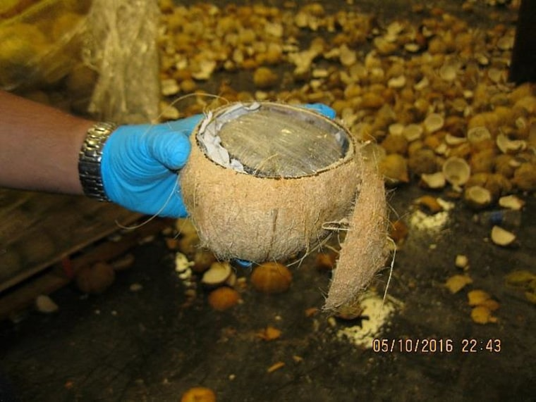 CBP agents in Texas found the alleged marijuana concealed inside these coconuts from Mexico.