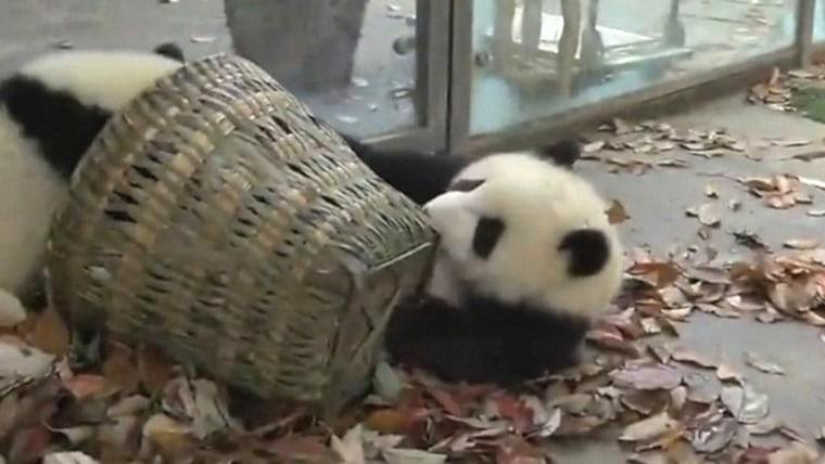 Panda cubs battle over basket of leaves.