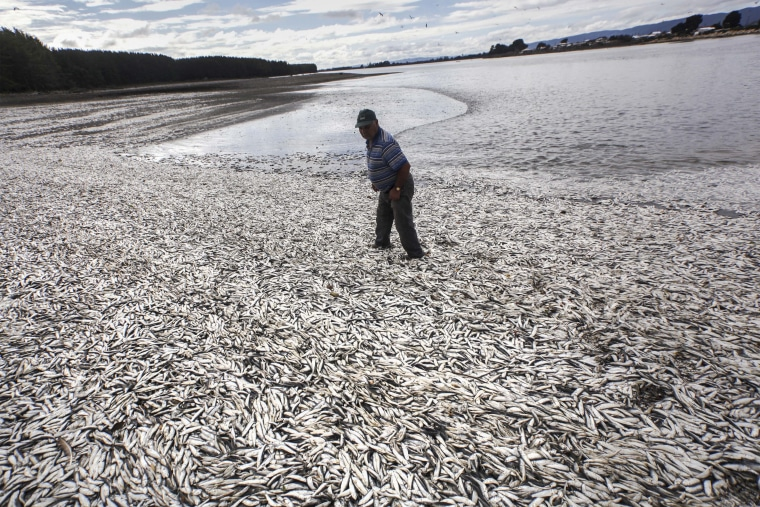 Fisherman Joaquin Martinez walks on a beach blanketed with dead sardines in Tolten, Temuco, Chile,.