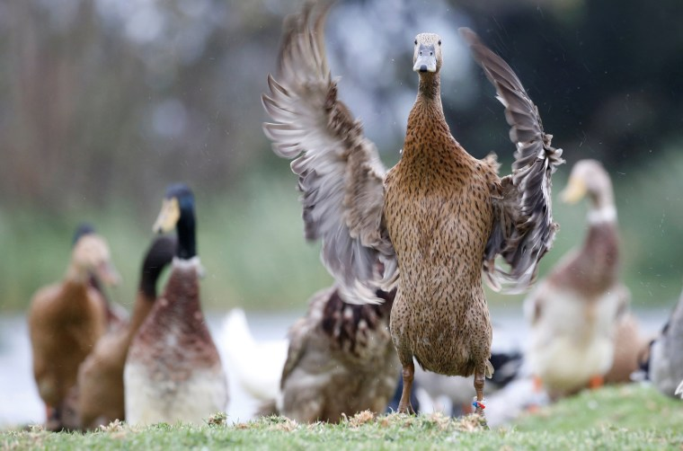 Image: The Wider Image: Quack squad on the hunt