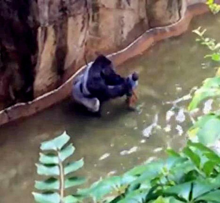 Onlookers captured footage of the gorilla handling the child.