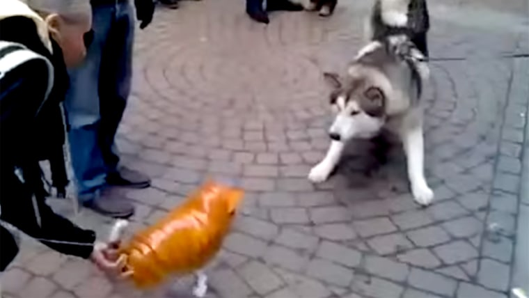 Husky meets with an inflatable cat