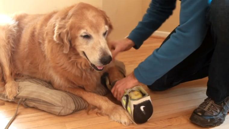 Dog with prosthetic leg