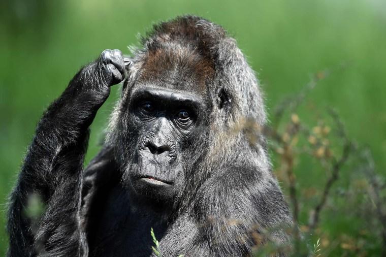 Gorilla in Berlin