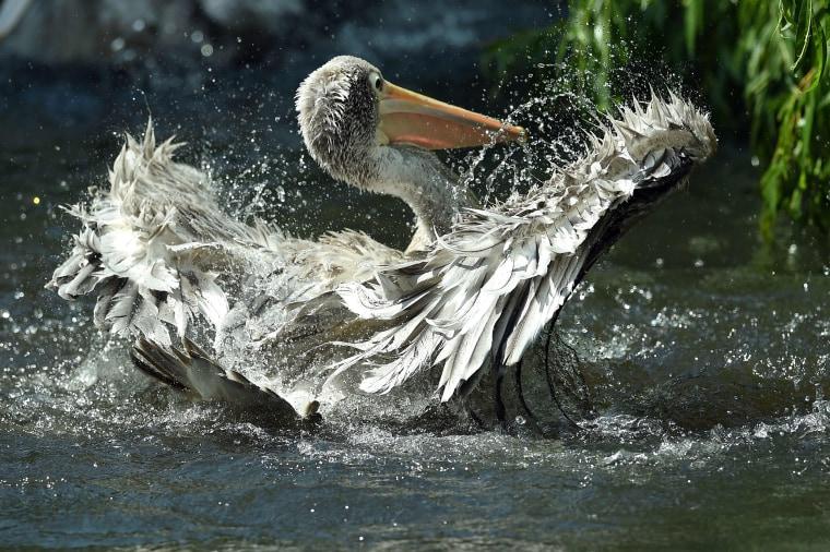 Pelican in Berlin