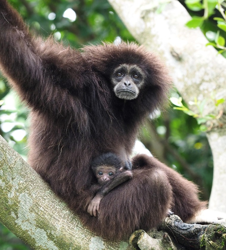 A white-handed gibbon with her baby