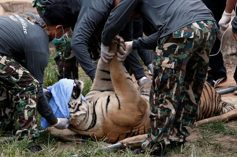 Image: A sedated tiger is stretchered as officials start moving tigers from Thailand's controversial Tiger Temple in Kanchanaburi province