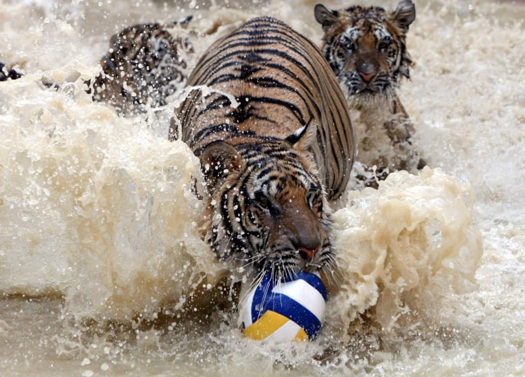 Image: Tigers play in water