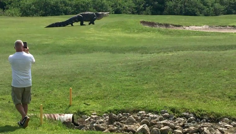 Charles Helms captured video of the huge alligator rising up and walking through one of the holes at the Buffalo Creek Golf Course in Palmetto, Florida.
