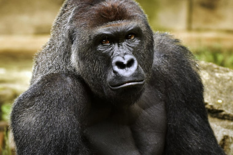 File photo provided by the Cincinnati Zoo and Botanical Garden shows Harambe, a western lowland gorilla.