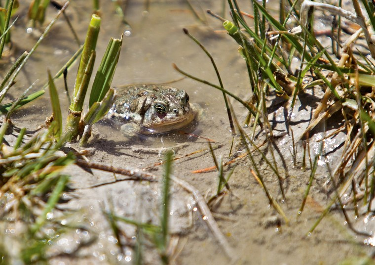An adult toad sits in a wetland area on June 1, 2016, after being released at the Buford Foundation Ranch as part of the U.S. Fish and Wildlife and Saratoga National Fish Hatchery's Cooperative Recovery Initiative project, near Laramie, Wyoming.