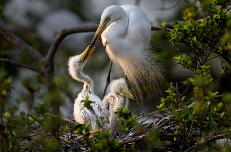 Image: An egret feeds its young sitting on a tree on the banks of river Brahmaputra