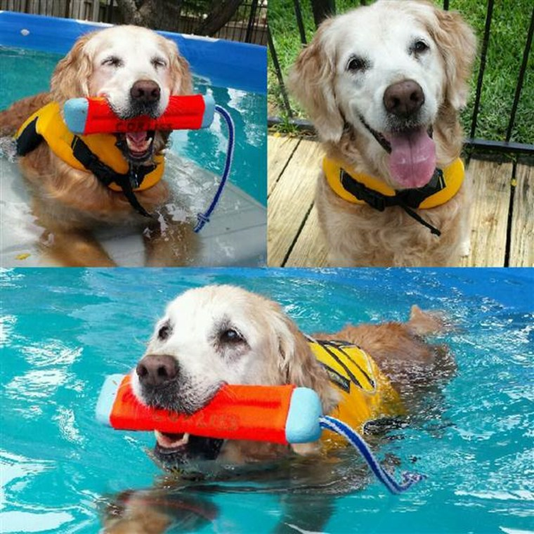 Bretagne the search dog swimming in a pool