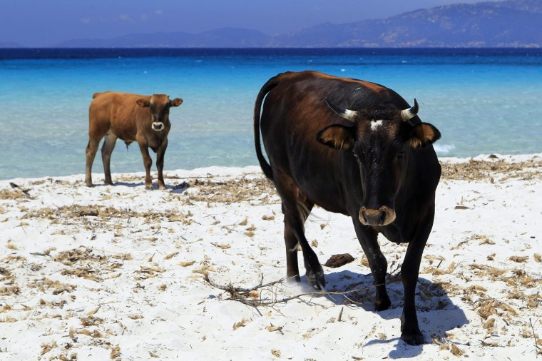 A cow and a her veal walk on the Maresol beach in Porticcio in the gulf of Ajaccio on June 8th on the French island of Corsica.