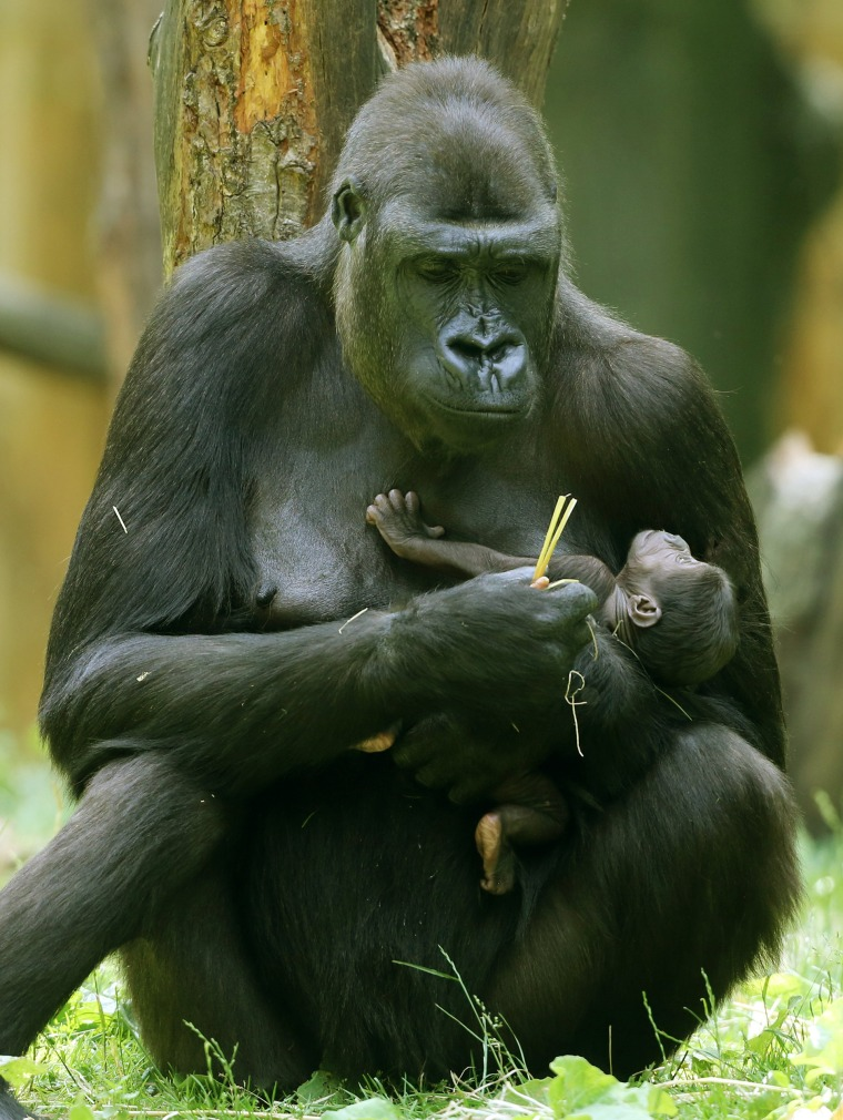 Gorilla mother Safiri holding her still nameless one-week-old baby at the zoo in Duisburg, Germany, on June 10th.