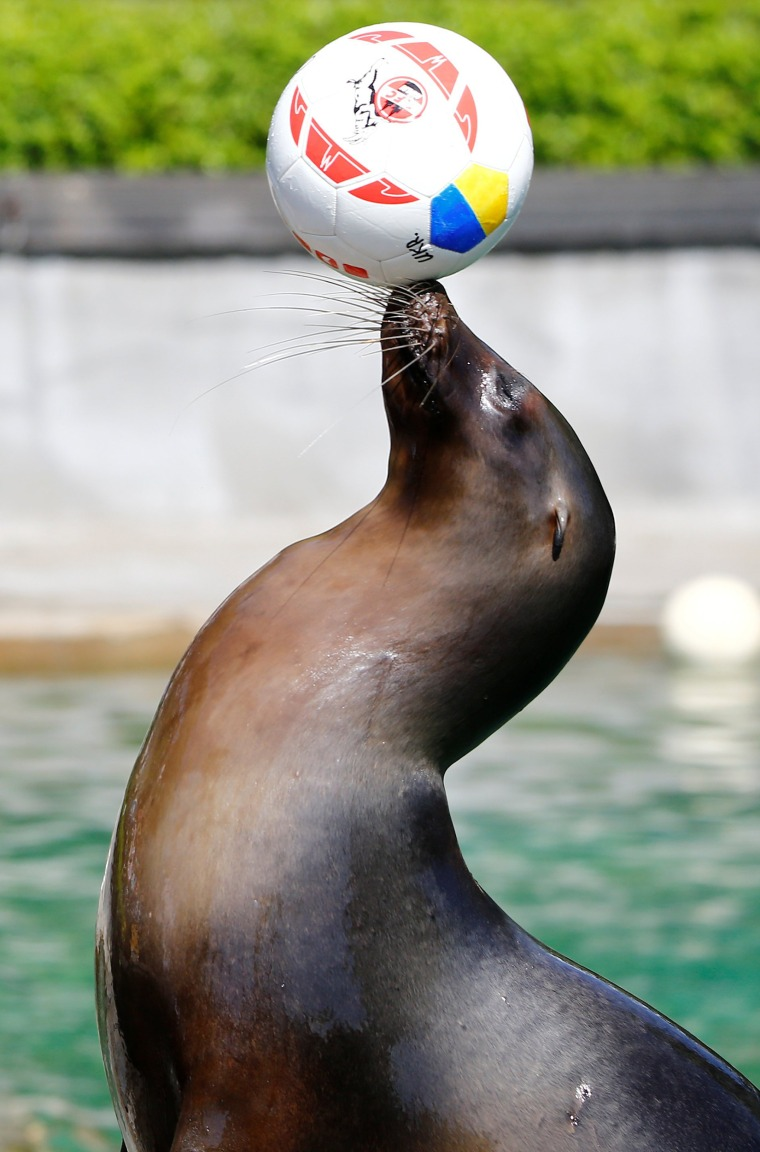 Sea lion Astrid oracles Ukraine's victory over Germany in the European soccer championships at Cologne's zoo on June 10th.