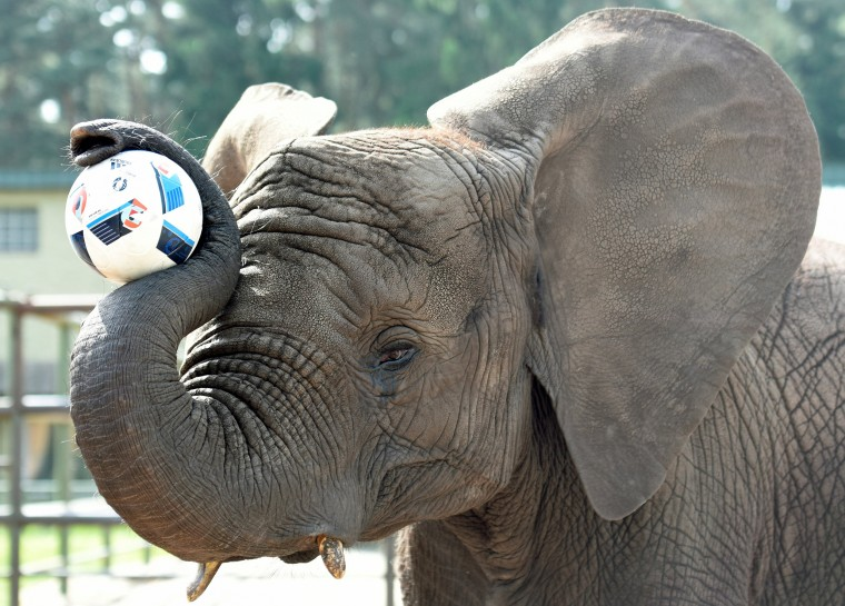 """Elephant Nelly controls the ball, as an """"animal oracle"""" to predict results of the Germany vs. Ukraine match at Euro 2016, in the """"Safari Park"""" in Hodenhagen, Germany, June 10th. Nelly predicted Germany will win the match."""