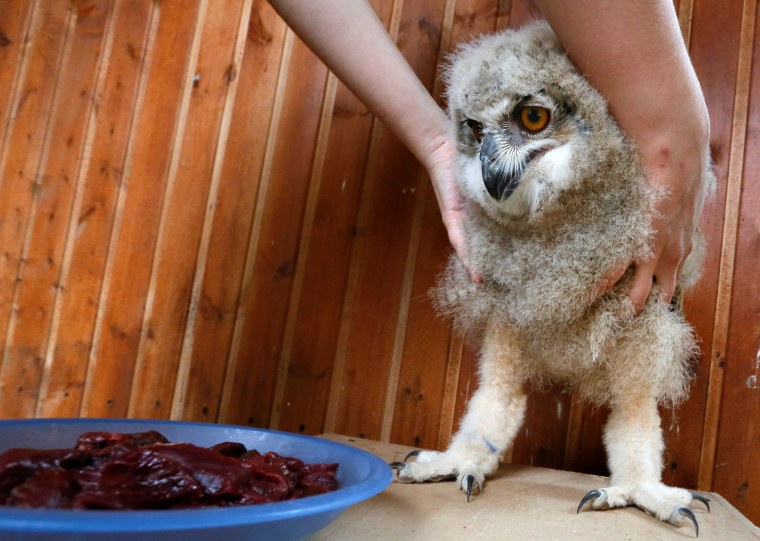 Image: A zoo employee feeds a 3-week-old Eurasian eagle owl at the Royev Ruchey zoo on the suburbs of the Siberian city of Krasnoyarsk