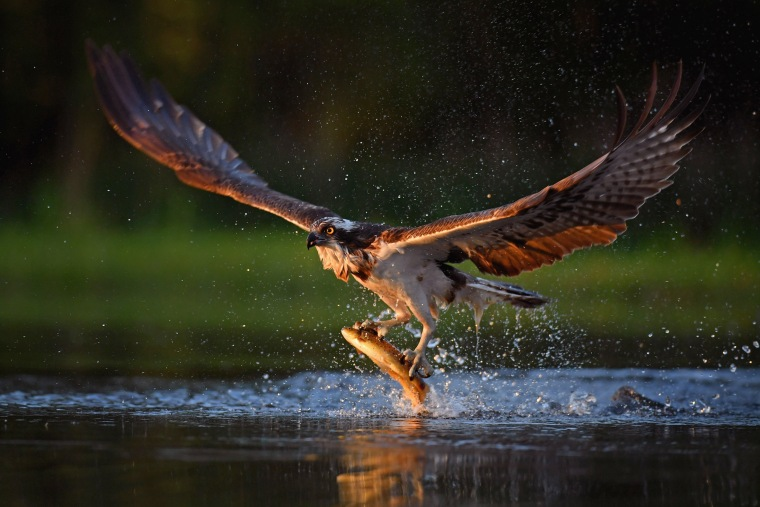 Image: Ospreys Return To Scotland For The Summer