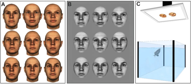 Examples of face images representative of those used in Experiment 1 (A) and Experiment 2 (B). Images shown are 3D morphs of several faces to protect the privacy of specific individuals. All face images were provided by the Max-Planck Institute for Biological Cybernetics in T?bingen, Germany. (C) Illustration of the experimental setup.