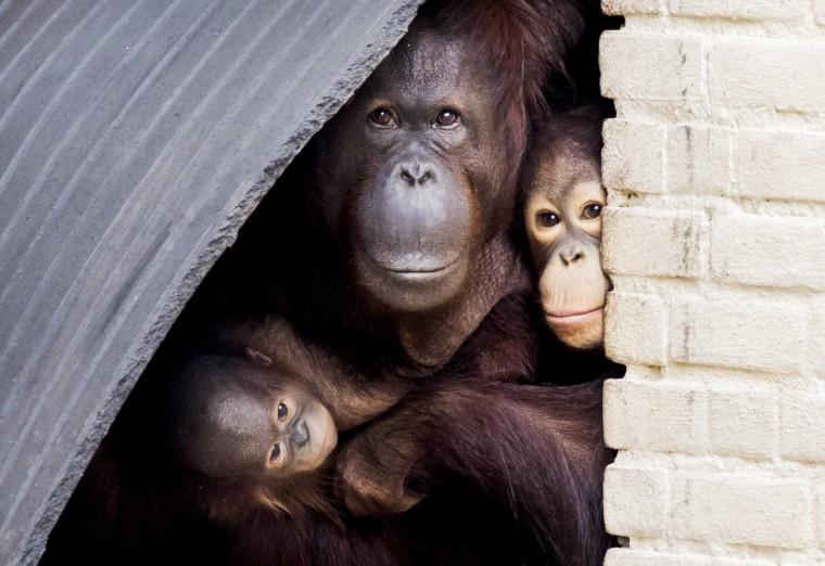 Image: Newborn orangutan in Rhenen, Netherlands