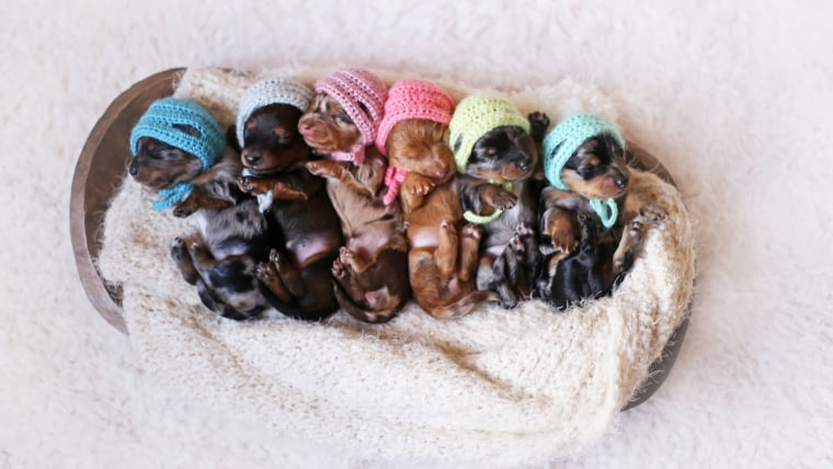 Proud Dachshund Mom Poses For Photoshoot With Her Newborn Pups