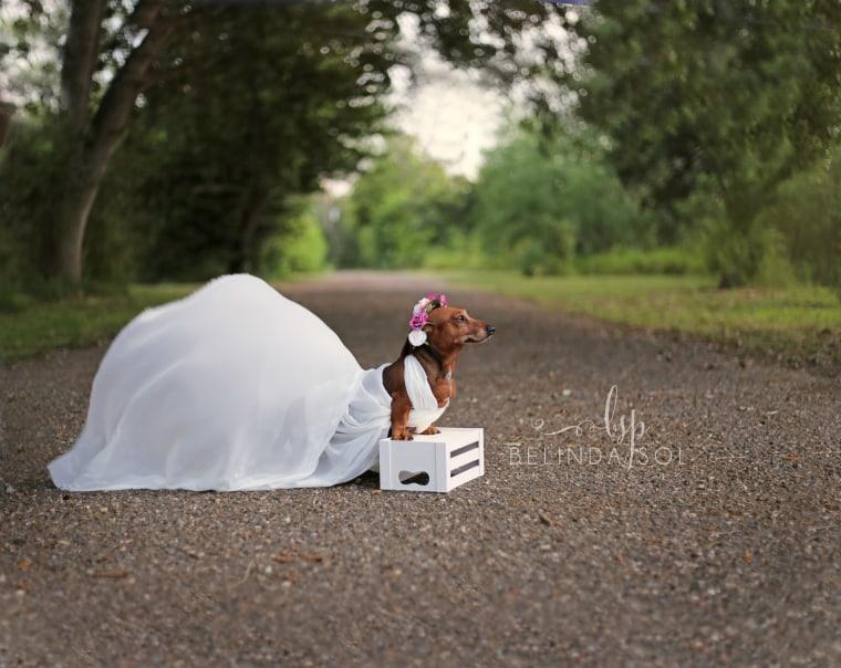 dachshund pregnancy shoot