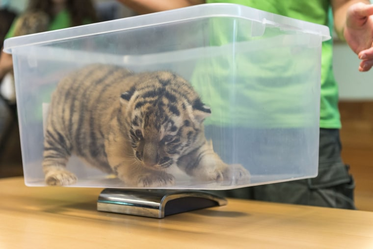 Image: A Siberian tiger cub in Veszprem Zoo, Hungary